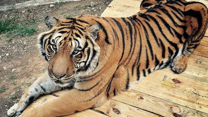 Vì sao dân Mỹ thích nuôi hổ làm... thú cưng? - Ảnh 2.