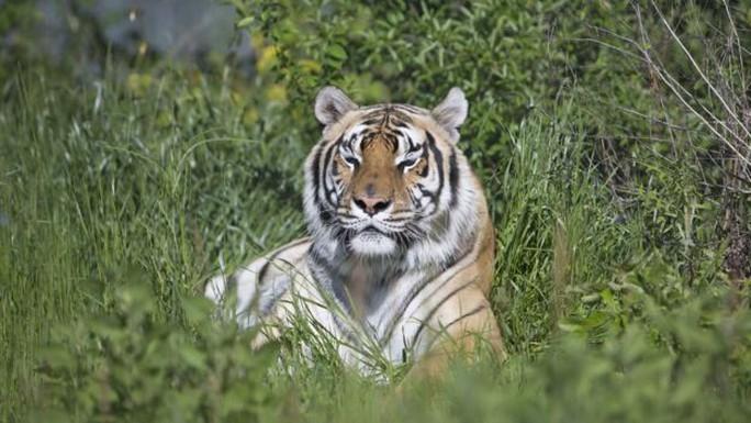 Vì sao dân Mỹ thích nuôi hổ làm... thú cưng? - Ảnh 1.