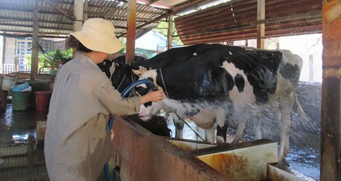 Hàng ngàn hộ nuôi bò sữa bỏ nghề - Ảnh 1.