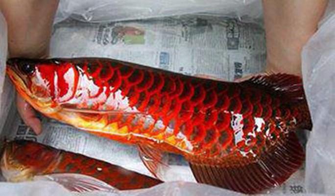 Huyền thoại về loài cá vẩy đỏ như máu ở Biển Hồ - Ảnh 1.