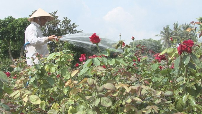 Người sở hữu hơn 40.000 chậu hoa hồng - Ảnh 1.