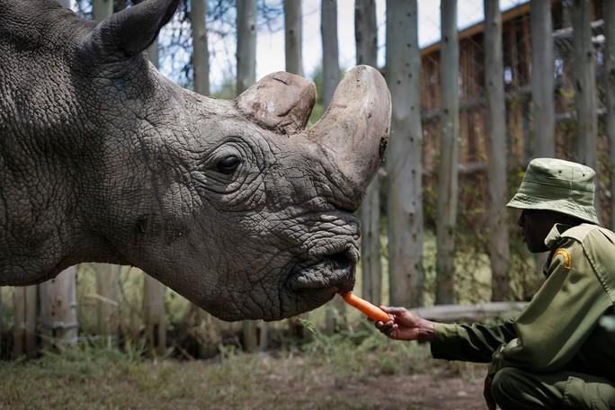 Hy vọng cứu tê giác trắng phương Bắc - Ảnh 1.