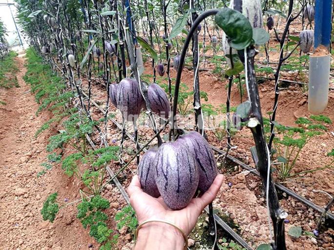 Kỹ sư trẻ trồng thành công dưa pepino tím độc nhất Việt Nam - Ảnh 1.
