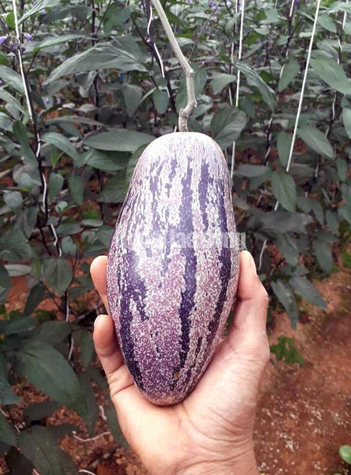 Kỹ sư trẻ trồng thành công dưa pepino tím độc nhất Việt Nam - Ảnh 5.