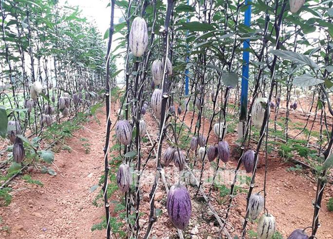 Kỹ sư trẻ trồng thành công dưa pepino tím độc nhất Việt Nam - Ảnh 4.