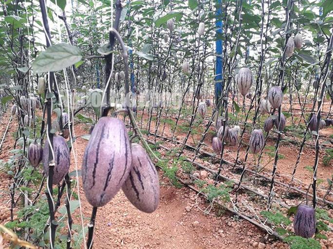 Kỹ sư trẻ trồng thành công dưa pepino tím độc nhất Việt Nam - Ảnh 3.