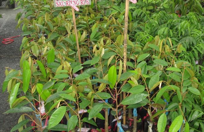 Sầu riêng siêu rẻ ăn trả hột: Lo chất lượng cây giống - Ảnh 1.