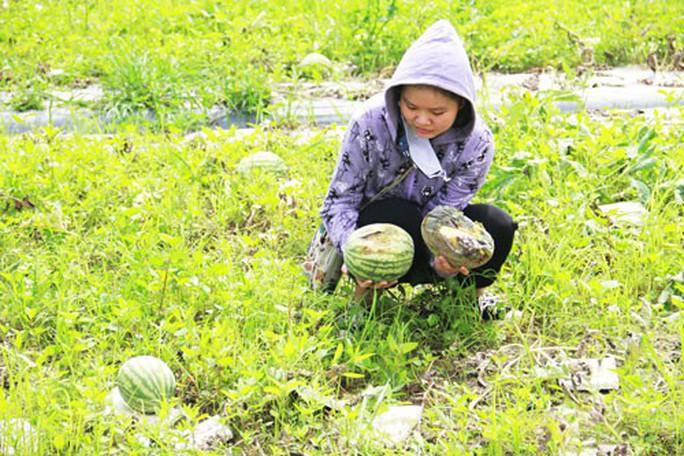 Nông dân thiệt hại nặng vì mưa dầm - Ảnh 2.