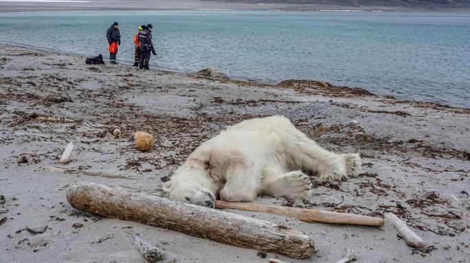 Tấn công nhân viên du lịch, gấu Bắc Cực bị bắn chết - Ảnh 1.