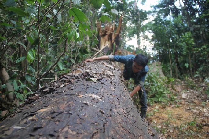 Cận cảnh khu rừng cổ thụ ở Bình Định bị lâm tặc triệt hạ - Ảnh 2.