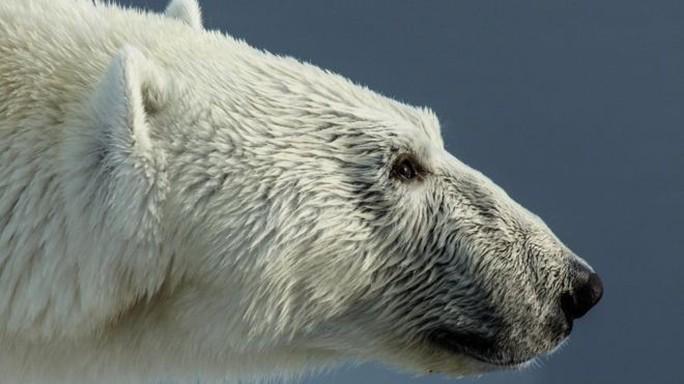 Bảo vệ con, cha bị gấu Bắc Cực giết chết - Ảnh 1.