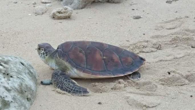 Lý Sơn: Rùa biển khủng quý hiếm chết vì mắc lưới ngư dân - Ảnh 1.
