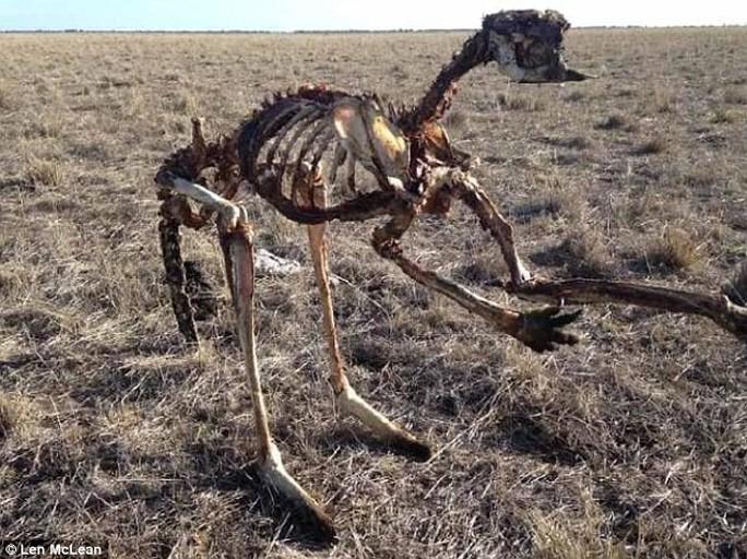 Úc: Hạn hán nặng, chuột túi chết trơ xương - Ảnh 2.