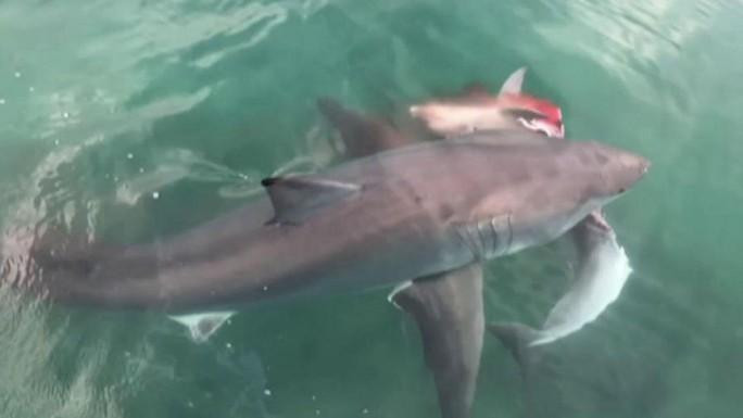 Kinh hãi cảnh cá mập tranh xác cá heo - Ảnh 2.