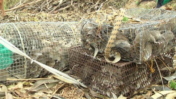 """Về miền Tây mùa lũ, xem thợ săn chuột đồng """"hốt bạc"""" - Ảnh 8."""