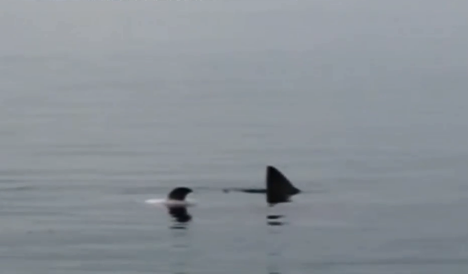 Kinh hãi cảnh cá mập tranh xác cá heo - Ảnh 1.