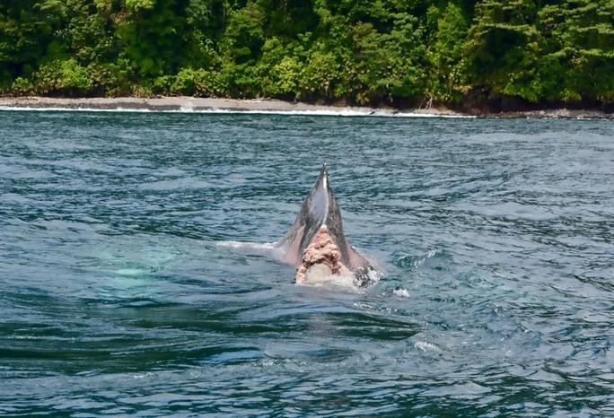 Rùng mình cảnh cá voi cụt đuôi bơi dưới biển - Ảnh 1.