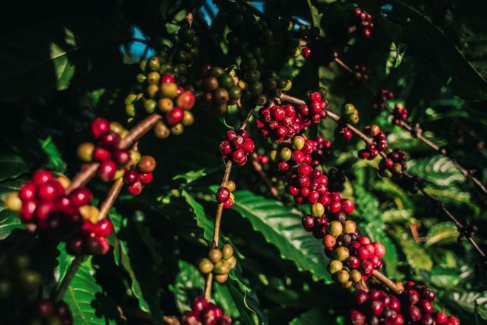 Kinh nghiệm sản xuất sữa giúp ích gì cho cú hích cà phê của NutiFood - Ảnh 2.
