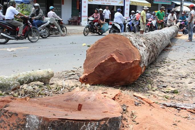 Đốn hạ hàng loạt cây dầu trên 100 năm tuổi vì mất an toàn giao thông? - Ảnh 1.