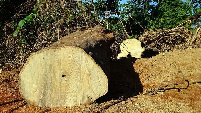 Doanh nghiệp lợi dụng khai thác gỗ vườn để phá rừng? - Ảnh 2.