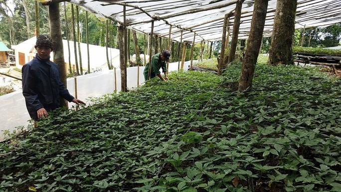 Cận cảnh vườn sâm Ngọc Linh ngàn tỉ - Ảnh 3.