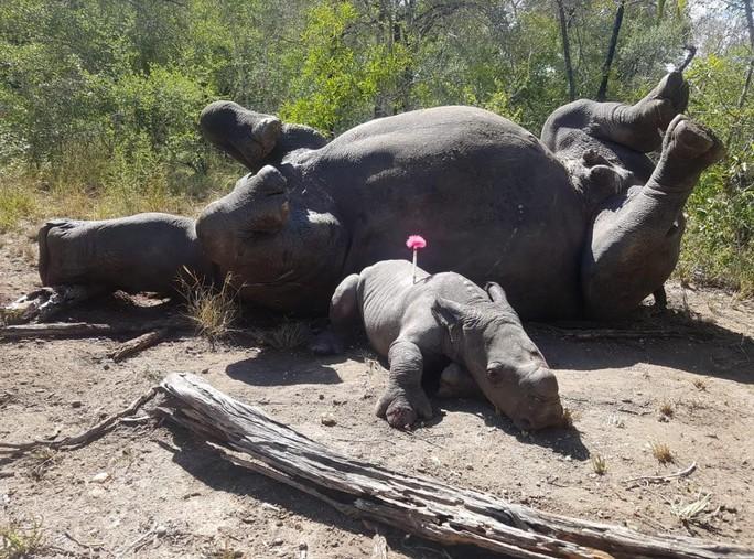 Xót xa cảnh tê giác con bị thương vẫn cố bảo vệ mẹ khỏi săn trộm - Ảnh 1.