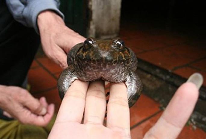 Có loài ếch đại gia giúp quý ông thăng hoa ở Lạng Sơn? - Ảnh 3.