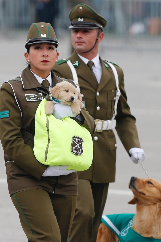 Chó nghiệp vụ gây sốt tại lễ diễu binh Chile vì…quá dễ thương - Ảnh 2.