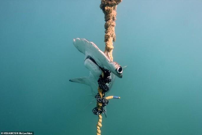 Hàng ngàn cá mập bị đánh bẫy tàn bạo để bảo vệ con người - Ảnh 1.