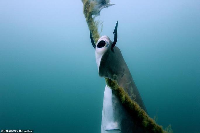Hàng ngàn cá mập bị đánh bẫy tàn bạo để bảo vệ con người - Ảnh 2.