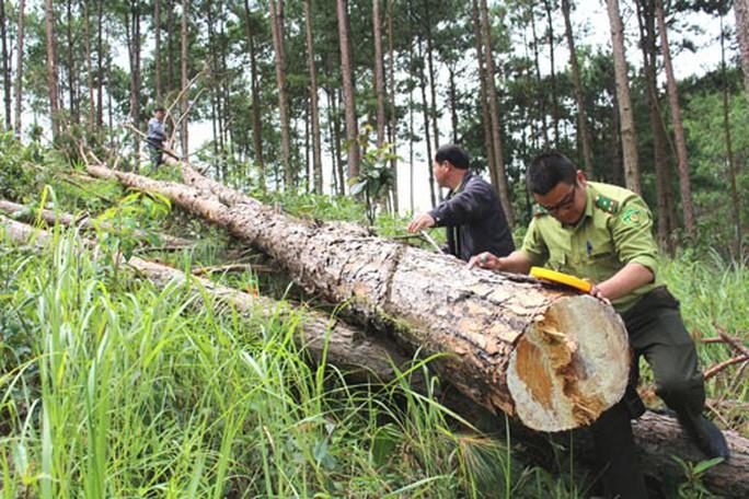 Lâm Đồng: Ồ ạt triệt hạ rừng thông để chiếm đất - Ảnh 2.