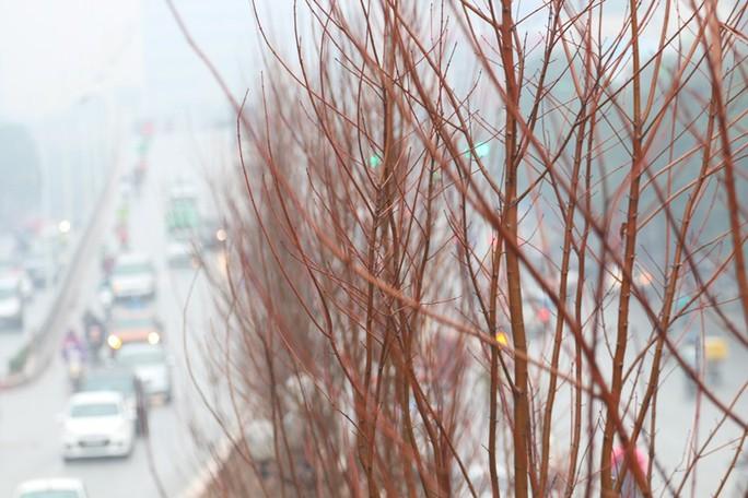 Hàng trăm cây phong lá đỏ được trồng giữa Thủ đô - Ảnh 7.