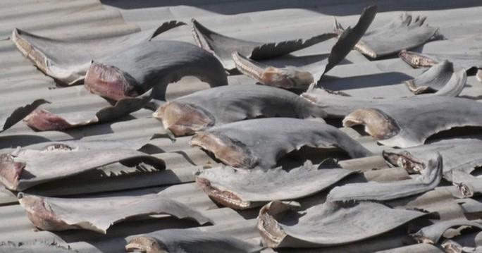 Đại sứ quán trả lời về vụ phơi vây cá mập trên mái nhà ở Chile - Ảnh 1.