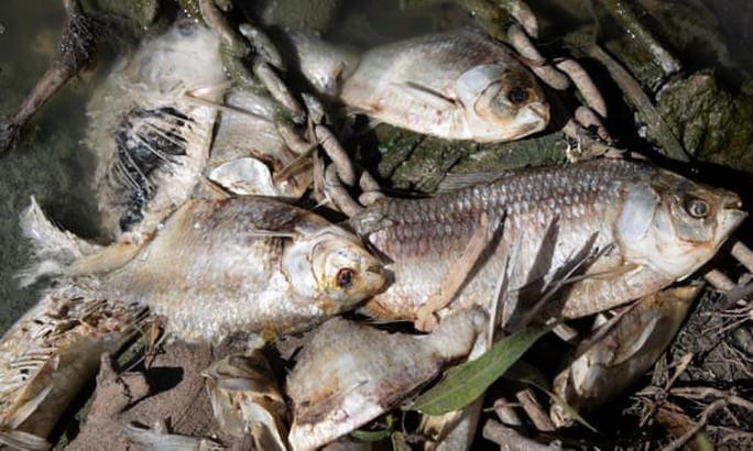 """Úc: """"1 triệu con cá"""" chết trắng trên sông - Ảnh 4."""