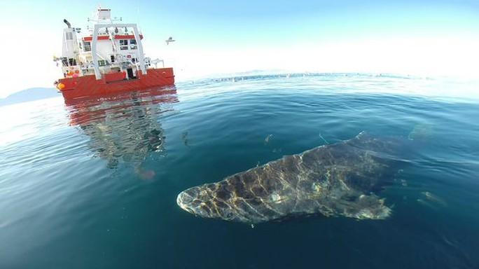 Lão cá mập sống tới 272 năm - Ảnh 1.