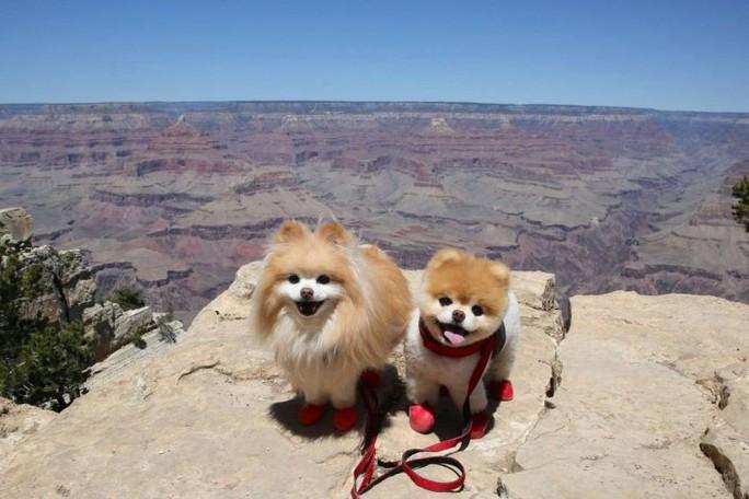 Chú chó Boo đáng yêu nhất thế giới qua đời - Ảnh 1.