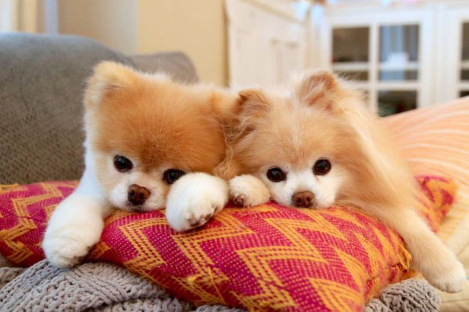 Chú chó Boo đáng yêu nhất thế giới qua đời - Ảnh 3.