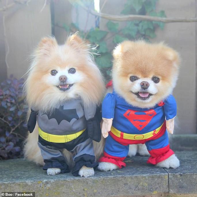 Chú chó Boo đáng yêu nhất thế giới qua đời - Ảnh 8.