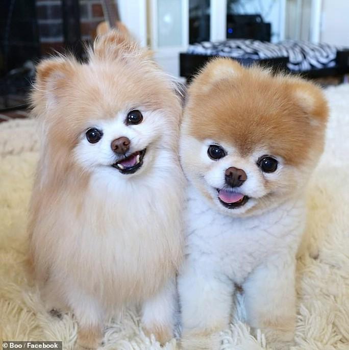 Chú chó Boo đáng yêu nhất thế giới qua đời - Ảnh 9.