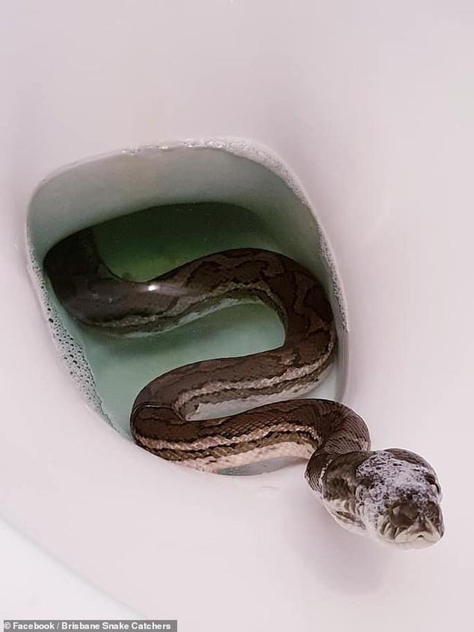 Tá hỏa thấy trăn núp trong bồn cầu nhà vệ sinh - Ảnh 2.