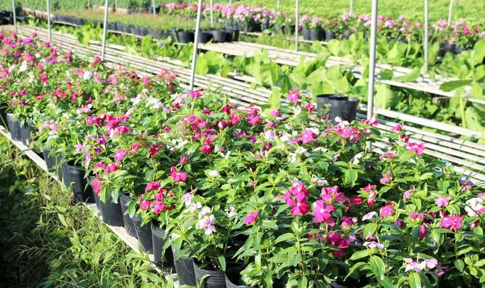 Chưa Tết, làng hoa lớn nhất miền Tây đã nườm nượp khách - Ảnh 7.