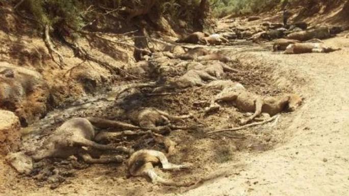 Úc: Hạn hán, ngựa chết la liệt trong vũng nước cạn khô - Ảnh 1.