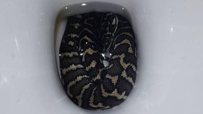 Bị rắn trong bồn cầu cắn khi đi vệ sinh - Ảnh 2.