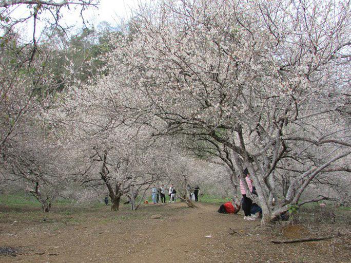 Cao nguyên Mộc Châu chìm đắm trong màu trắng hoa mơ  - Ảnh 8.