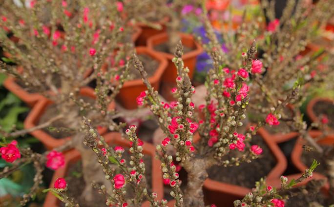 Đào mini Trung Quốc giá tiền triệu tràn ngập chợ hoa - Ảnh 4.
