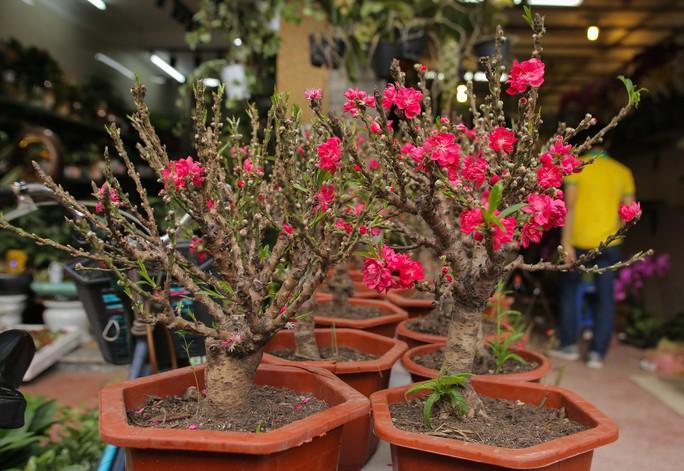 Đào mini Trung Quốc giá tiền triệu tràn ngập chợ hoa - Ảnh 5.
