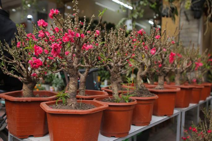Đào mini Trung Quốc giá tiền triệu tràn ngập chợ hoa - Ảnh 6.