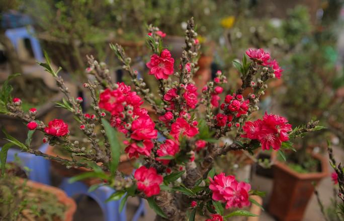 Đào mini Trung Quốc giá tiền triệu tràn ngập chợ hoa - Ảnh 9.