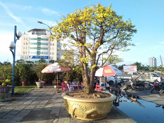 Lão mai được hét giá 3 tỉ đồng tại chợ hoa Xuân Đà Nẵng - Ảnh 2.