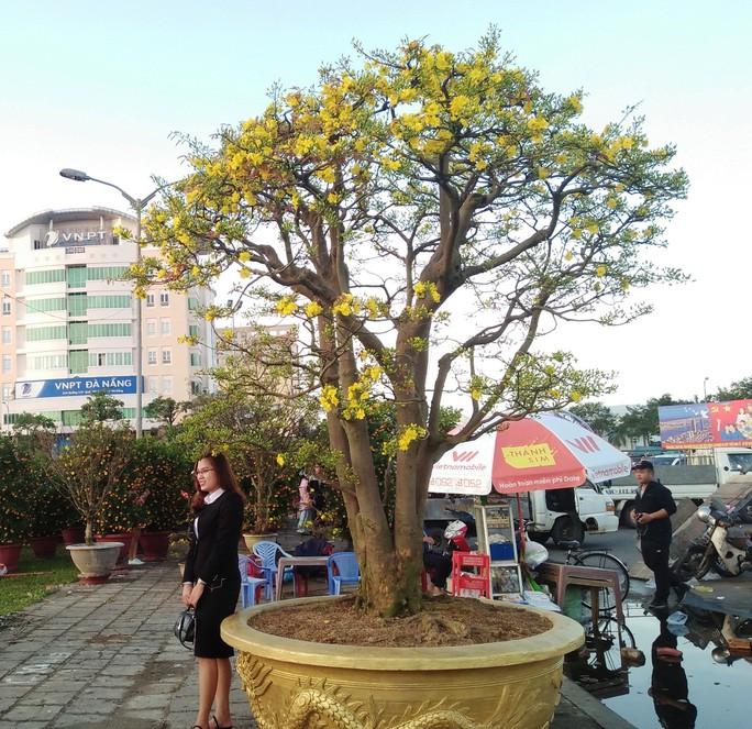 Lão mai được hét giá 3 tỉ đồng tại chợ hoa Xuân Đà Nẵng - Ảnh 8.